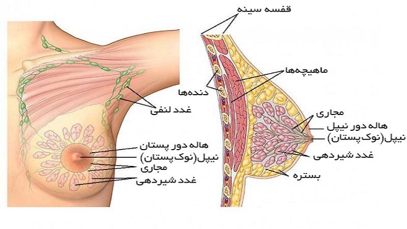 ساختار و عملکرد پستان | سونوگرافی پستان اصفهان